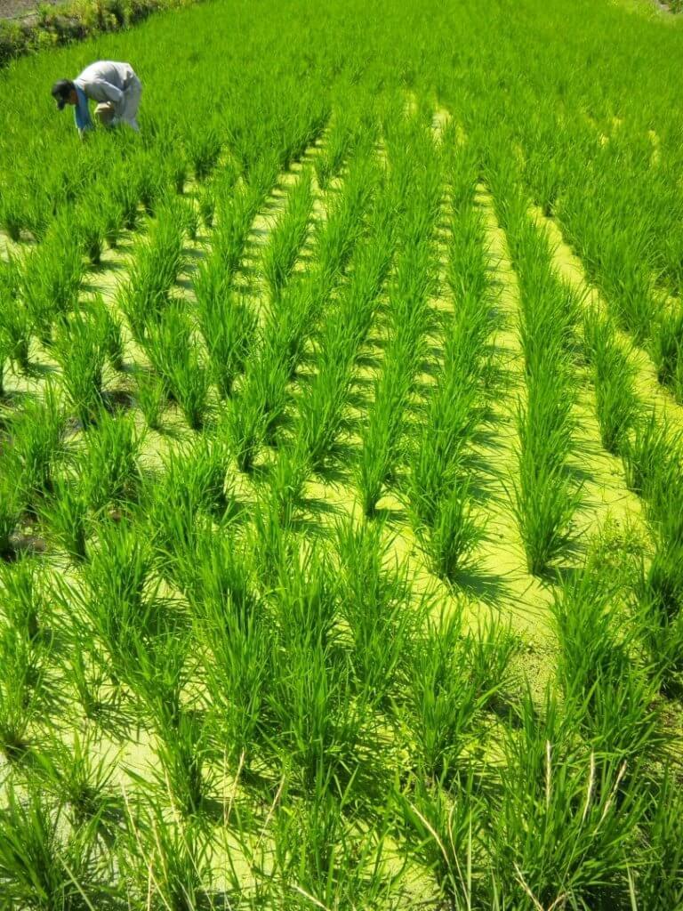 自然農の稲作