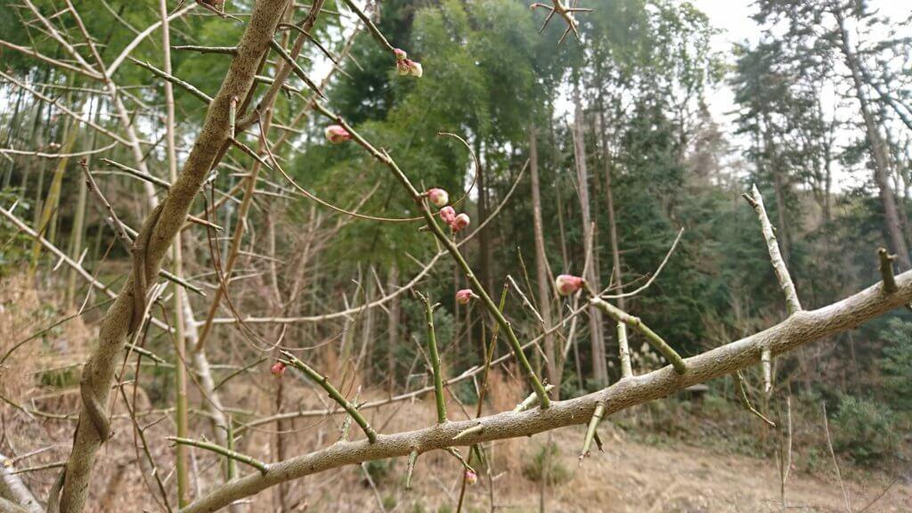 8年目の梅の木