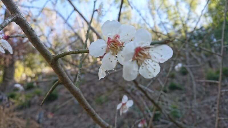 2019梅の花