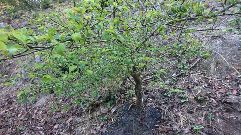 梅の木に葉がついた