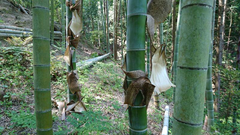 皮が剥がれた頃の竹林