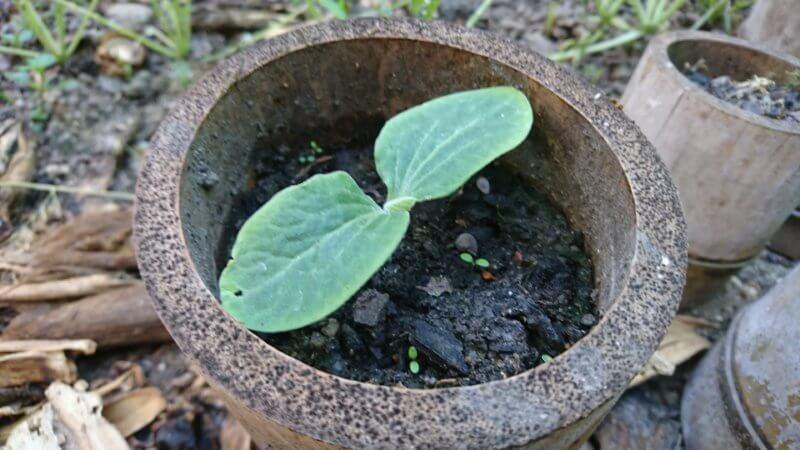 カボチャの芽