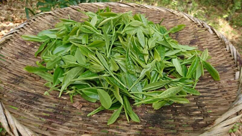 お茶の生葉