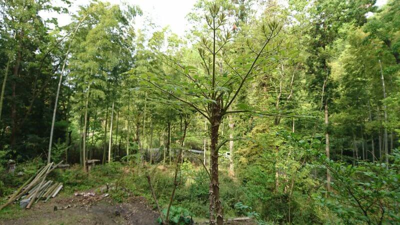 タラの木の2番芽