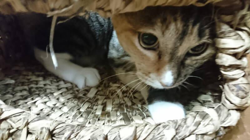 猫ちぐら好きなしろちゃん