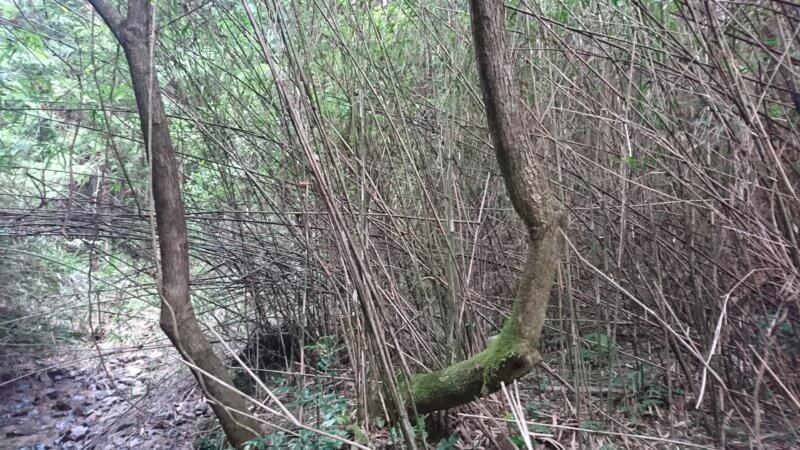 アケビの木