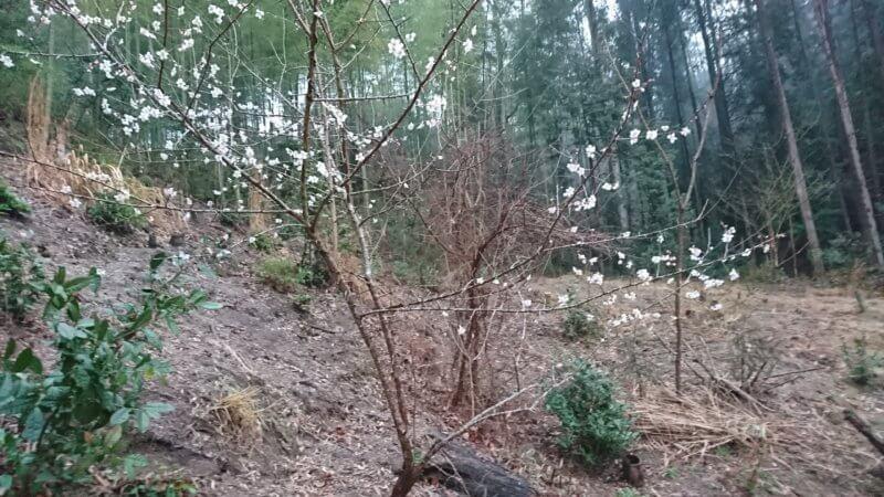 2020年の梅の木